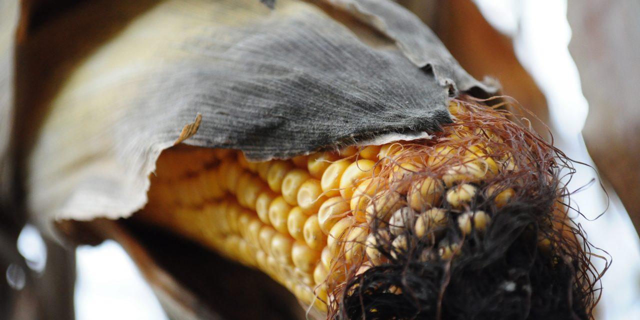 Importations d'OGM : le Parlement européen rejette la proposition dangereuse de la Commission européenne