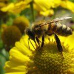 Sans les abeilles, il n'y a plus de vie sur terre : le Parlement demande à la Commission de revoir sa copie